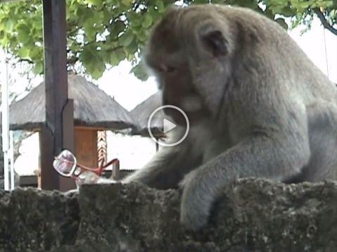 Monos salvajes en Bali aprenden a extorsionar a turistas para conseguir comida